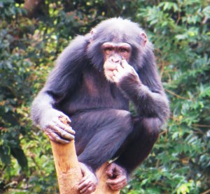 Chimpanzee, Sierra Leone, Sierra Leone wildlife, things to see in Sierra Leone, travel Sierra Leone, tourism Sierra Leone, tourism Freetown