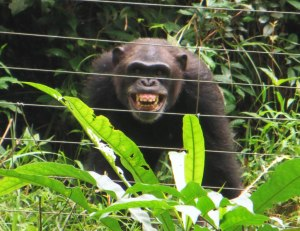 Tacugama Chimp Sanctuary, Freetown, things to see in Freetown, tourism attractions Sierra Leone, tourism Sierra Leone, travel Sierra Leone, chimpanzees, Sierra Leone wildlife, Elizabeth Around the World