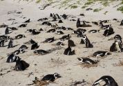 Boulder Beach, African penguins, South Africa, Cape Town, road trip