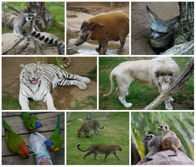 Cango Wildlife Ranch, white lions, African animals, South Africa, Oudtshoorn, road trip