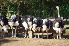 Ostrich, Somali Ostrich, Cango Ostrich Farm, Oudtshoorn, South Africa
