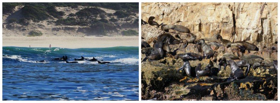 Cape fur seal, dolphins, Ocean Safari, Ocean blue, whale watching, Plettenberg Bay, South Africa