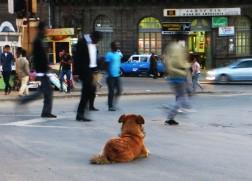 Addis Ababa, Ethiopia, African dogs
