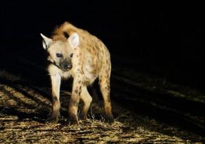 Hyenas of Harar, Harar, hyenas, Ethiopia, Ethiopia tourism, Hyena man, Harar tourism