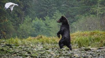 grizzly bear, cub of the year, Mussel Inlet, Great Bear Rainforest, Elizabeth Around the World, Elizabeth McSheffrey