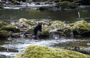 Black bear, bear cub, Spirit Bear, Gribbell Island, Great Bear Rainforest, Elizabeth McSheffrey