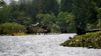 Birds, marine birds, seagulls, raincoast, Great Bear Rainforest
