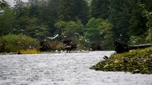 Birds, marine birds, seagulls, raincoast, Great Bear Rainforest