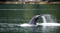 Humpback whale, Great Bear Rainforest, Elizabeth McSheffrey