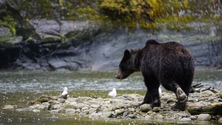 Great Bear Rainforest, Elizabeth Around the World, Elizabeth McSheffrey, Grizzly Bear, Mussel Inlet