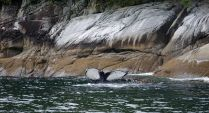 Humpback whale, bubble net feeding, Great Bear Rainforest, fluke, Elizabeth McSheffrey