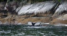 Humpback whale, bubble net feeding, Great Bear Rainforest, fluke, Elizabeth McSheffrey