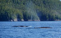 Fin Whales, Great Bear Rainforest, whale watching, British Columbia