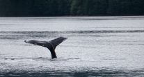 humback whale, fluke, Great Bear Rainforest