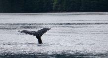 humback whale, fluke, Great Bear Rainforest