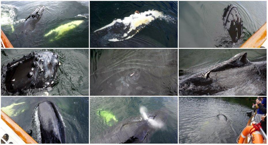 humpback whale, Great bear Rainforest, whale watching, Elizabeth McSheffrey, British Columbia