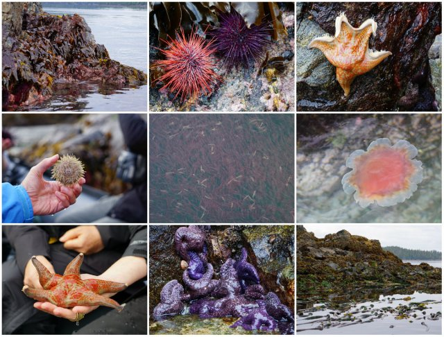 Intertidal zone, Great Bear Rainforest, Whale Point, Pacific blood stars, leather starfish, ochre sea stars
