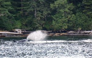 orcas, killer whales, Great Bear Rainforest, Bluewater Adventures, whale watching, British Columbia
