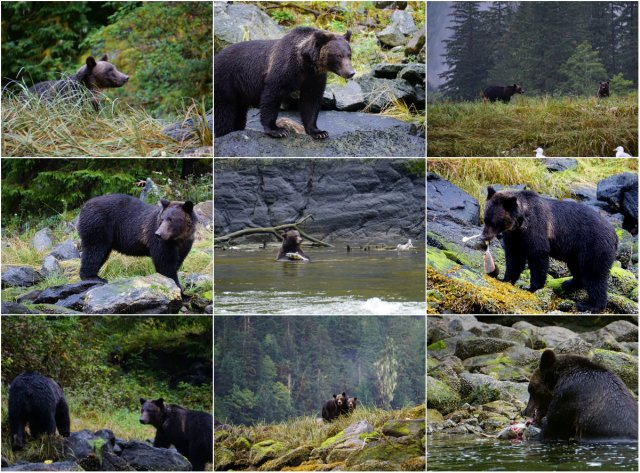 Mussel Inlet, Great Bear Rainforest, grizzly bears, salmon spawning, Elizabeth McSheffrey, Elizabeth Around the World