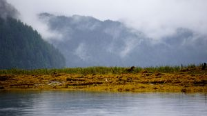 Mussel Inlet, Great Bear Rainforest, kelp