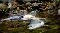 salmon forest, salmon carcass, salmon spawning, Great Bear Rainforest