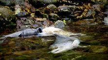 salmon forest, salmon carcass, salmon spawning, Great Bear Rainforest