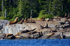 Sea Lions, Whale Point, Great Bear Rainforest