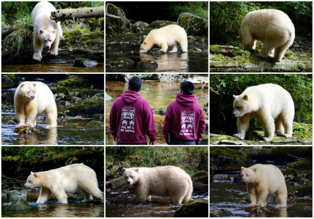Gitga'at First Nation, spirit bear, The Boss, Gribbell Island, Great Bear Rainforest, Elizabeth Around the World, Elizabeth McSheffrey